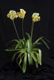 20142542  -  Paph Barbilight  'Less Filling'  CCM/AOS  (84-points)  1-28-2014