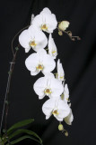 20142548  -  Phal Sogo Yukidian  'V3'   HCC/AOS   (78-points)  1-24-2014