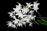 20142612  -  Dendrobium White Grace  'Sato'  AM/AOS  (83-ponts)  3-8-2014  (Dave Brightwell