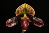 20142568  -  Paph.  Petula's Peacock  'Valentine's Mystery'  HCC/AOS  (78-points)  2-15-2014  (Deno Kandis)