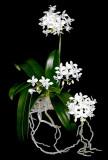 20142646  -  Phalaenopsis equestris var alba 'Frosty Morn' HCC/AOS (77-points) 10-11-2014  (Julie Hal)