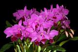 20142642  -  Cattleya labiata f. rubra 'Claire'  CCM/AOS     (86-points)  10-11-2014  (Bill Rogerson)