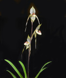 20152559  -  Paph. (Predacious x rothschidianum)   'Gigantic'  HCC/AOS  (77-points)  1-31-2015  (Orchid Inn)