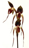 20152577   -  Paphiopedilum Adding Booth 'Dark Shadow AM/AOS   (83-points)  3-14-2015  (Alex Mannuel  _1