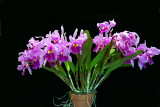 20152587   -  Cattleya warscewiczii  'Stewart's Meteor'  CCE/AOS  (92-points)  6-13-2015  (William Rogerson)