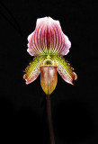20152610   -  Paph.  Magic Fairy 'Bella'  HCC/AOS  (75-points)   9-19-2015  (Synda Nelson) 16