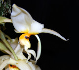 20152607  -  Stanhopea gibbosa 'Kathleen'  AM/AOS (86-points)  9-12-2015  (William Rogerson) 5