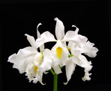 20152625   -   Cattleya maxina v. alba  'Kathleen II'  AM/AOS (81-points)  11-14-2015  (William Rogerson)