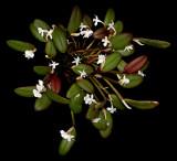 20152616  -   Dendrobium schuitemanii  'Lindinha' CCM/AOS  (81-points)  10-10-2015  (Steve Gonzales)