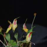 20162568  -   Lepanthes helgae  'Darryl's Joy'  AM/AOS  (80-points) 3-7-2016   (Chris Miller)