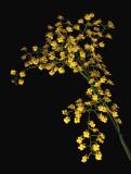 20162586  -  Trichocentrum cavendishianum 'Judy Hirsch'  CCE/AOS  (92-points)  3-12-2016  (Joe & Rosalie Dixler)  2