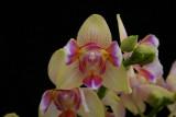 20162577  -  Phal. I-Hsin Venus  'Sweet Fragrance'  JC/AOS  3-19-2016  (Natt's Orchids)