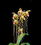 20162585  -  Paph. Chiu Hua Dancer  'Golden Tresses'  FCC/AOS  (91-points)  7-9-2016  (Jerry Seidel)