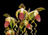 20162585  -  Paph.    Chiu Hua Dancer    'Golden Tresses'   FCC/AOS  (91-points)  7-9-1016  (Jerry Seidel)  close