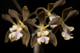 20162572  -  Encyclia Nina Chin 'Orkiddoc' HCC/AOS   (Points-77)  7-9-2016  (Larry Sexton)