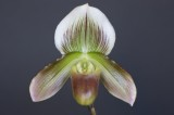 20162621 -  Paph. Philippe Briois 'Hampshire' AM/AOS   (Points-80)  9-10-2016  (William Rogerson)
