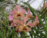 20162637  Papilionanda T.M.A.  'Noelridge'   HCC/AOS  (Points-79)  10-15-2016  (Friends on Noelridge)