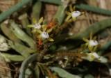 20171475  -  Taeniophyllum  obtusum  'Aidan'  CBR/AOS  1-14-2017  (John Stuckert)  plant  c