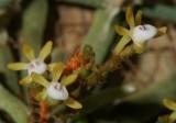 20171475  -  Taeniophyllum  obtusum  'Aidan'  CBR/AOS  1-14-2017  (John Stuckert)  flowers