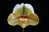 20171453  -  Paph.  Jim Spatzek  'Jolly Good Fellow'  AM/AOS  (82-points)  1-14-2017  (Arnie Klehm)