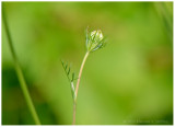 Delicate Bud
