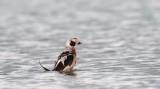 D4_4996F ijseend (Clangula hyemalis, Long-tailed Duck).jpg