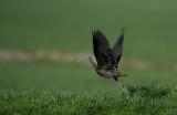 D40_2003F zwarte ibis (Plegadis falcinellus, Glossy Ibis).jpg