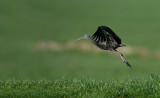 D40_2004F zwarte ibis (Plegadis falcinellus, Glossy Ibis).jpg