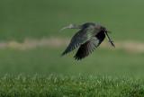 D40_2005F zwarte ibis (Plegadis falcinellus, Glossy Ibis).jpg