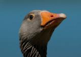 700_6605F grauwe gans (Anser anser, Greylag Goose).jpg