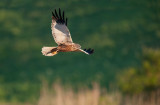 700_4715F bruine kiekendief (Circus aeruginosus, Marsh Harrier).jpg