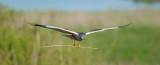 700_4771F bruine kiekendief (Circus aeruginosus, Marsh Harrier).jpg