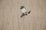700_4779F bruine kiekendief (Circus aeruginosus, Marsh Harrier).jpg