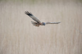 700_4877F bruine kiekendief (Circus aeruginosus, Marsh Harrier).jpg