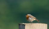 D40_8595F roodborst (Erithacus rubecula, Robin).jpg
