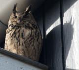 D40_0001F oehoe (Bubo bubo, Eurasian Eagle-Owl).jpg