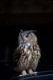 D40_6012F oehoe (Bubo bubo, Eurasian Eagle-Owl).jpg