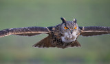 D40_6651F oehoe (Bubo bubo, Eurasian Eagle-Owl).jpg