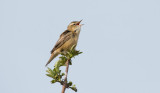 D40_7050F rietzanger (Acrocephalus schoenobaenus, Sedge Warbler).jpg