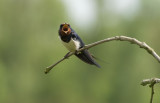 D40_9574F boerenzwaluw (Hirundo rustica, Barn Swallow).jpg