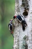 D40_2062F grote bonte specht (Dendrocopos major, Great Spotted Woodpecker).jpg
