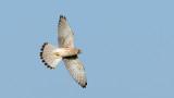 D40_7944F torenvalk (Falco tinnunculus, Common Kestrel).jpg