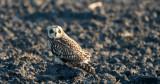 D40_4900F velduil (Asio flammeus, Short-eared Owl).jpg