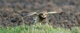 D40_5152F velduil (Asio flammeus, Short-eared Owl).jpg