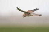 D40_5698F torenvalk (Falco tinnunculus, Common Kestrel).jpg