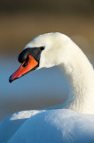 D40_5837F knobbelzwaan (Cygnus olor, Mute Swan).jpg