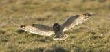 D40_0144F velduil (Asio flammeus, Short-eared Owl).jpg