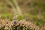 D4S_9939F tapuit (Oenanthe oenanthe, Northern Wheatear).jpg