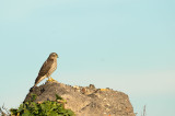 D4S_7304F sperwer (Accipiter nisus, Eurasian Sparrowhawk).jpg