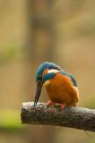 D4S_4504F ijsvogel (Alcedo atthis, Kingfisher).jpg